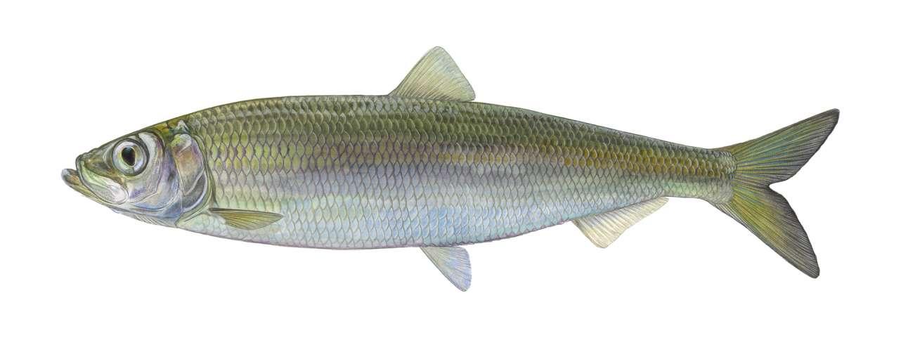 Fisch des Jahres 2021 - Der atlantische Hering (Clupea harengus)